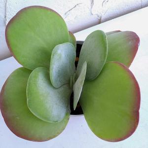 デザートローズは、秋〜冬にかけて紅葉する多肉植物です。紅葉した葉色は大変美しく見応えがあります。夏場...