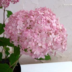 大きな手毬状の花で人気の高いアナベルのピンク花新品種で、これまでの品種と比べて花が大きく、茎が丈夫で...