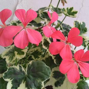 草花の苗/カラーリーフゼラニウム:フランクヘッドレイ3.5号ポット|engei