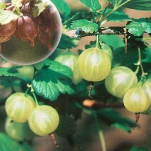果樹の苗/グーズベリー(すぐり):ピクスウェル4〜5号ポット|engei