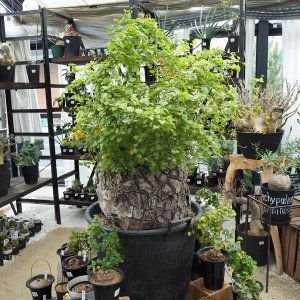 観葉植物/送料無料 ディオスコレア:エレファンティペス(亀甲竜) 直径52cm鉢植え|engei