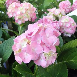 霧島の恵みは四季咲きで5月から開花し始め、晩秋まで順次咲き続けます。開花後に花をカットしていただくと...