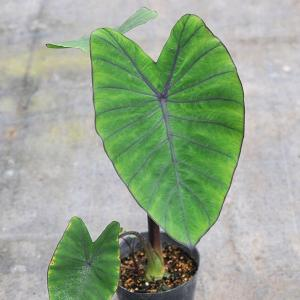 ★やや葉に傷みがあるため特価となっています。写真より葉が少ない状態でのお届けとなります★タロイモの園...