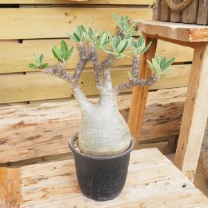 観葉植物/送料無料 パキポディウム:グラキリス 斑入り株直径14cm鉢植え|engei