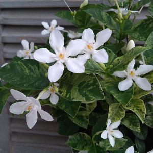 セイロンライティア:バニラクラッシュ(斑入り)6号鉢植え|engei