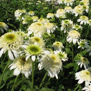 カラフルで豪華な八重咲エキナセア。珍しい品種をセレクトしてお届けします。ホワイトダブルデライトは、咲...