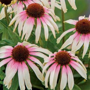 珍しいバイカラー(2色)咲きのエキナセアです。美しくエキゾチックな雰囲気の花をお楽しみいただけます。...