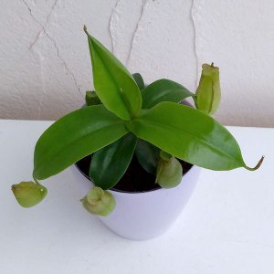 観葉植物/食虫植物:ネペンテス(うつぼかずら)グラシリス スポート3号鉢|engei