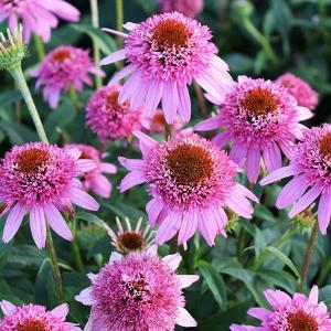 カラフルで豪華な八重咲エキナセア。珍しい品種をセレクトしてお届けします。バタフライキッスは小輪で超多...