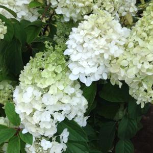 ノリウツギはアジサイの仲間。初夏からつぎつぎと花が上がり、開花期が長くお庭におすすめの潅木です。モン...