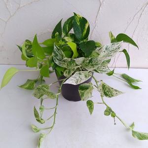 観葉植物/ポトス寄せ植え5号鉢|engei