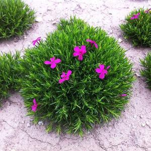花後がきれいな芝桜(シバザクラ):ピンク3号ポット 2株セット 開花終了後に地上部が枯れない・グランドカバーに最適
