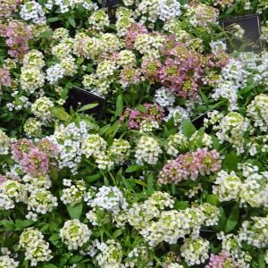草花の苗/アリッサム:シックカラー ミックス植え2.5号ポット 2株セット