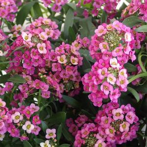草花の苗/アリッサム:ラズベリーストリーム3.5号ポット