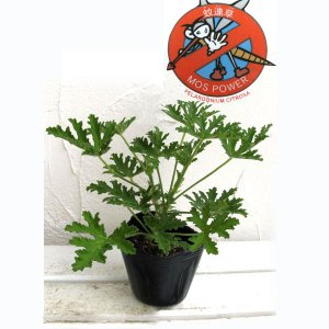 ハーブの苗/送料無料 蚊連草(蚊よけ植物かれんそう)3号ポット 24株セット
