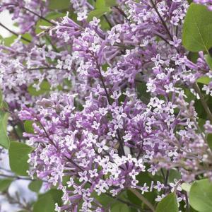花木 庭木の苗/ドワーフライラック:フラワーフェスティバル パープル4号ポット|engei
