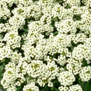 草花の苗/アリッサム:イースターボネット ホワイト3号ポット 2株セット
