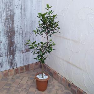 観葉植物/フランスゴムの木 曲がり 7号鉢植え|engei