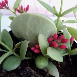 観葉植物/ディスキディア:カンガルーポケット2.5号ポット貯水嚢つき|engei