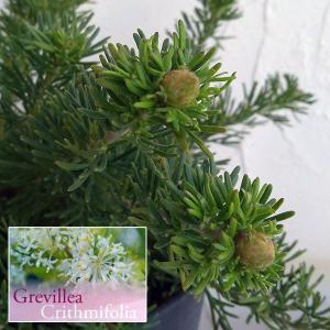 花木 庭木の苗/グレヴィレア:クリスミフォリア5号鉢植え|engei