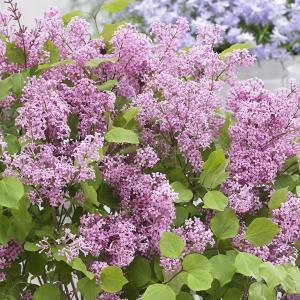 花木 庭木の苗/ドワーフライラック:フラワーフェスティバル ピンク4号ポット|engei