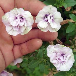草花の苗/ペチュニア:ブドウラテ3.5号ポット|engei