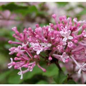 花木 庭木の苗/ヒメライラック:セント&センシビリティピンク5号ポット|engei