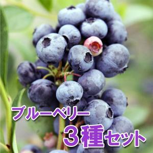 果樹の苗/ブルーベリー:サザンハイブッシュ系5号3種セット(オニール・ケープフェアー・ブルーマフィン) 送料無料|engei