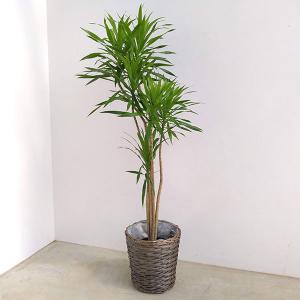 観葉植物/ドラセナ ナビ― 7号ポリ植えVA8バスケット入り 送料無料|engei