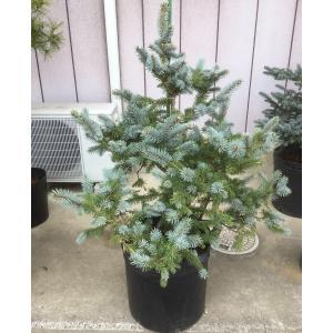 花木 庭木の苗/ピセアプンゲンス(プンゲンストウヒ):ホプシー樹高1mポット入り苗 送料無料|engei