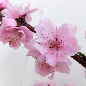 果樹の苗/モモ(桃):しだれ:照手水蜜(テルテスイミツ)6号ポット 送料無料|engei