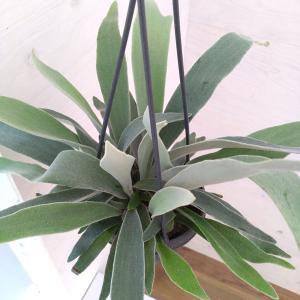 観葉植物/コウモリラン:ベイチー 4号プラ吊り鉢|engei