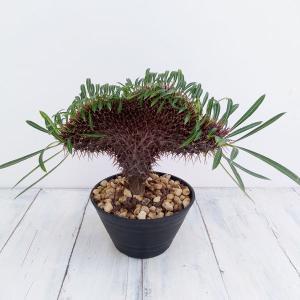 観葉植物/パキポディウム・ラメレイ(実生綴化)5号鉢植え 厳選株B−4 送料無料|engei