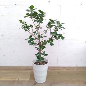 観葉植物/パンダガジュマル 7号鉢植え|engei