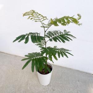 観葉植物/エバーフレッシュ(ネムノキ)6号鉢植え|engei