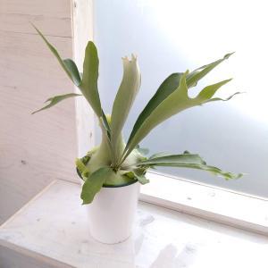 観葉植物/コウモリラン:ネザーランズ6号鉢植え|engei