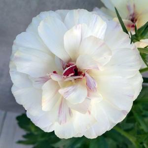 草花の苗/ラナンキュラス:ラックス ニノス3.5号ポット