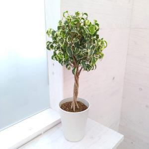 観葉植物/ベンジャミン(フィカス ベンジャミナ):シタシオン 6号鉢植え|engei