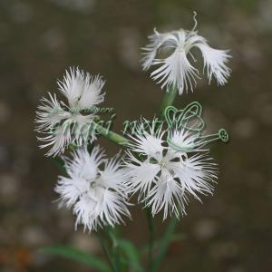 山野草の苗/カワラナデシコ(河原撫子):白花3号ポット