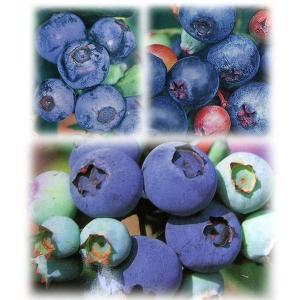 果樹の苗/ブルーベリー:ラビットアイ系3種受粉樹苗5号苗(ホームベル・ティフブルー・ウッダード)|engei