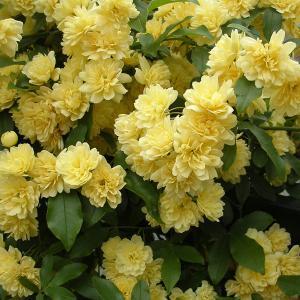 バラの苗/モッコウバラ:黄花八重咲き3号ポット|engei