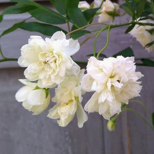 バラの苗/モッコウバラ:白花八重咲き3号ポット|engei