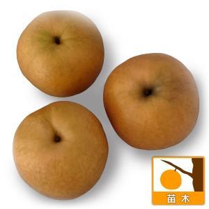 果樹の苗/ナシ(梨):シンコウ(新興)4号ポット