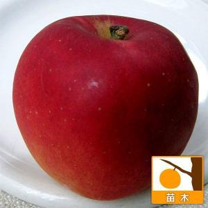 果樹の苗/リンゴ:コウギョク(紅玉)4〜5号ポット|engei