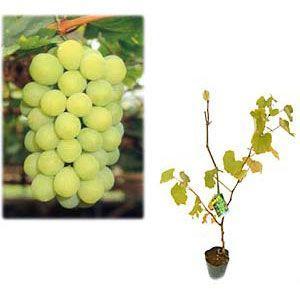 果樹の苗/ブドウ:ネオマスカット挿木苗4〜5号ポット