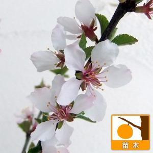果樹の苗/ユスラウメ:赤実4〜5号ポットの商品画像