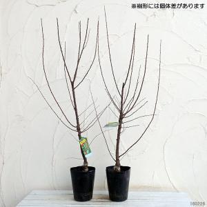 果樹の苗/ユスラウメ:赤実4〜5号ポットの詳細画像1