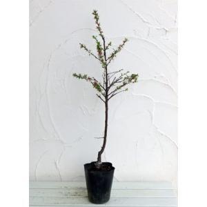 果樹の苗/ユスラウメ:赤実4〜5号ポットの詳細画像2
