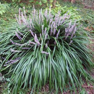 草花の苗/ヤブラン(リリオペ):緑葉 3.5号ポット2株セット