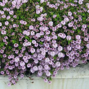 ★小さい苗となります★ローズピンクの小さくてかわいい花をたくさん咲かせるほふく性のタイムです。タイム...